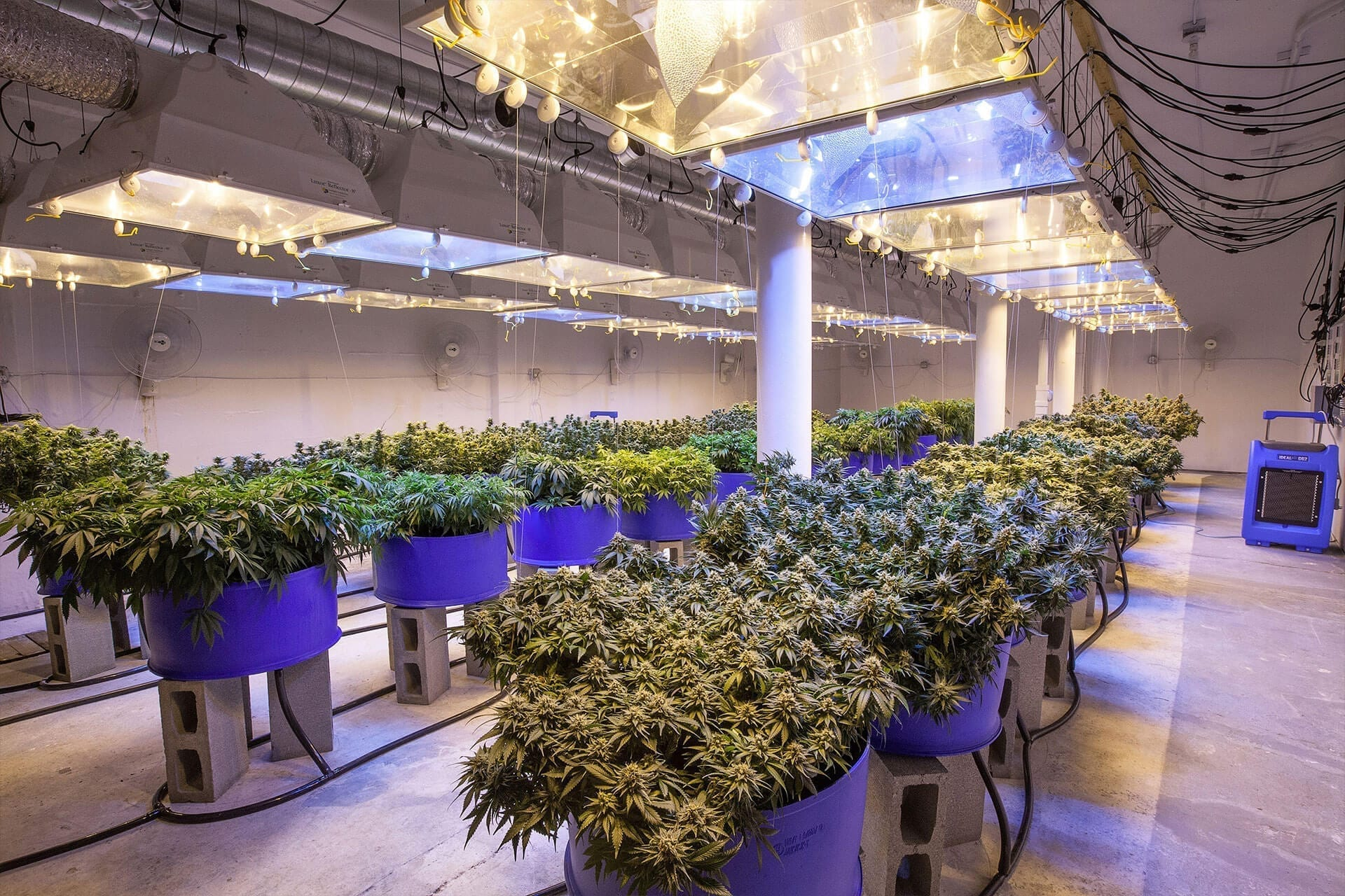 Cannabis cultivation - Indoor Cannabis Growing
