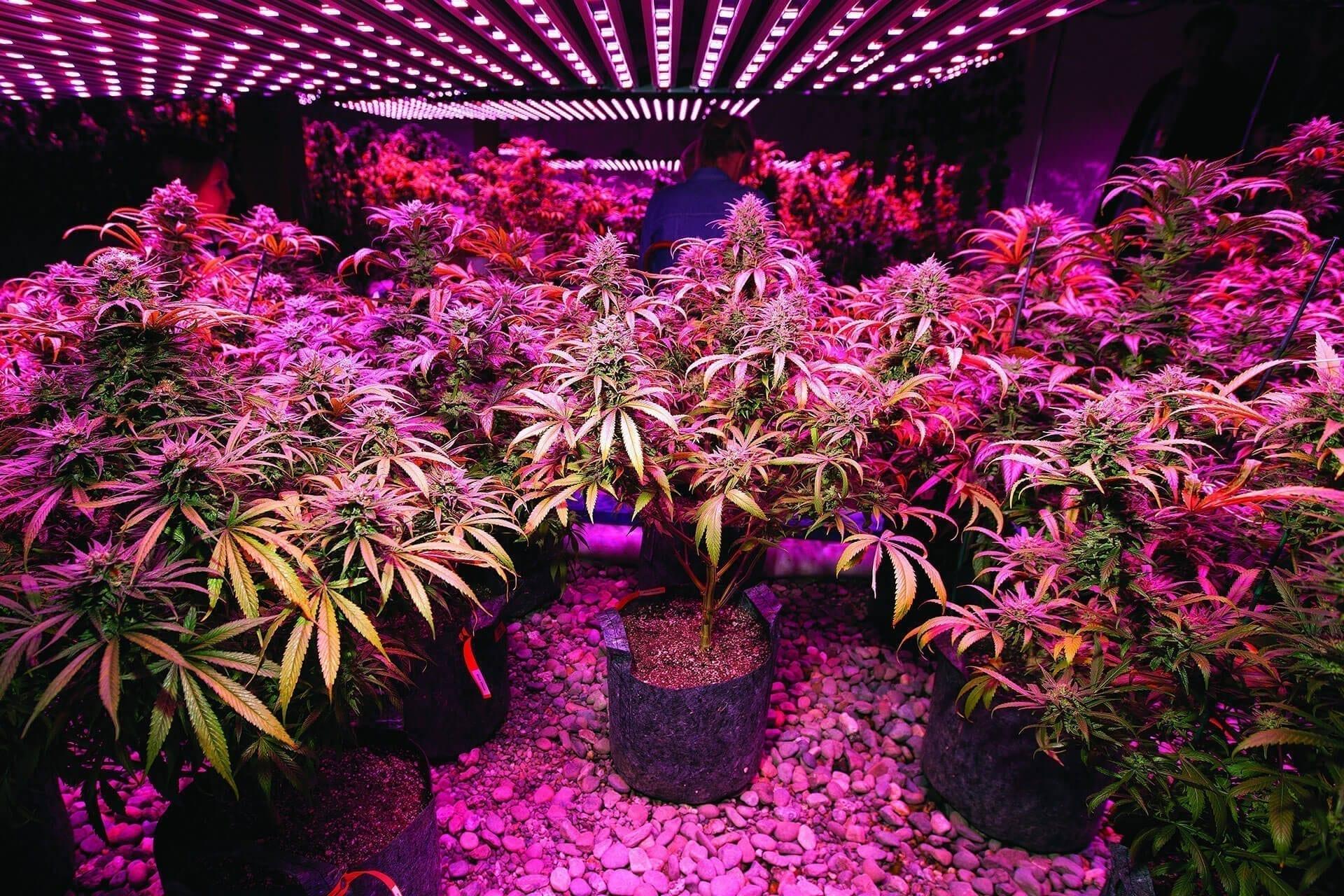 Grow light - Cannabis cultivation