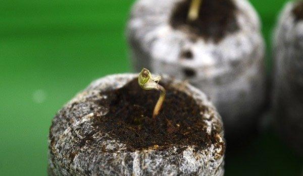 Germination - Seed