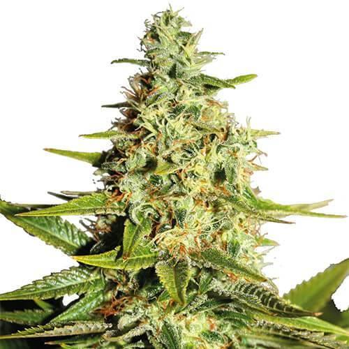 Afghan Marijuana Strain