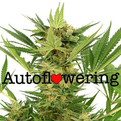 Autoflowering cannabis - Marijuana