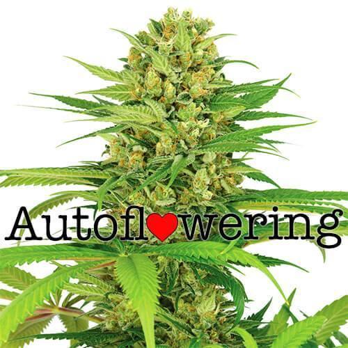 Autoflowering cannabis - Cannabis cultivation