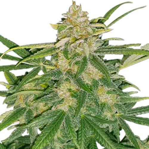 Strain - Marijuana