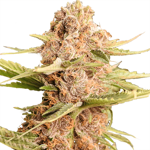 Girl Scout Cookies - Girl Scout Cookies