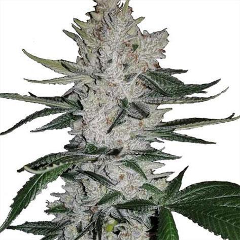 Cannabis cultivation - Tetrahydrocannabinol
