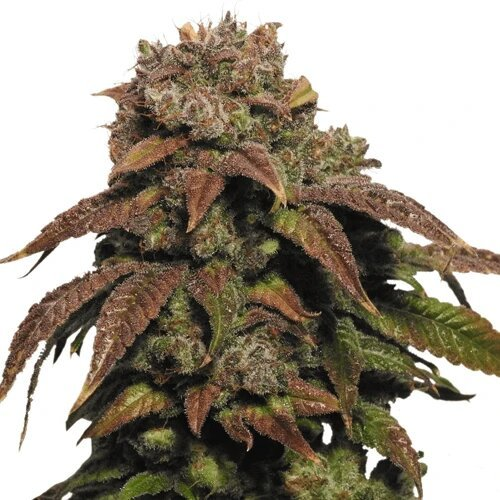 Seed bank - Cannabis sativa