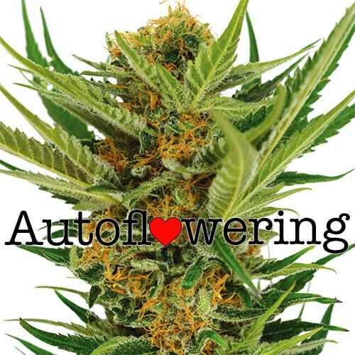 Autoflowering cannabis - Cannabis cultivation