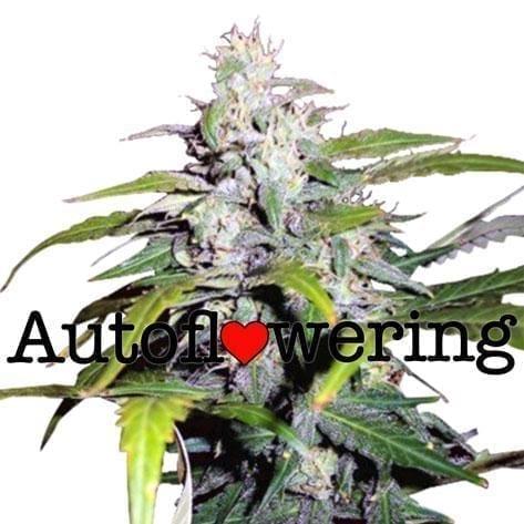 Cannabis ruderalis - Autoflowering cannabis
