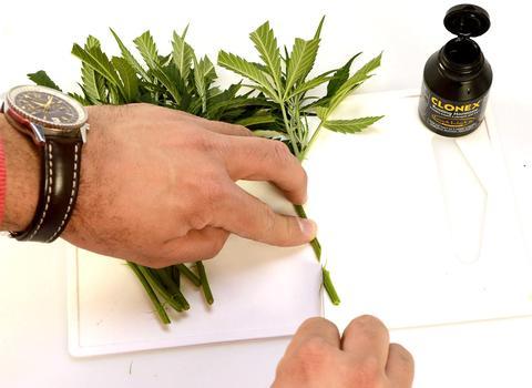 Herbal medicine - Cloning