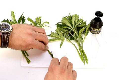 Cloning - Herb