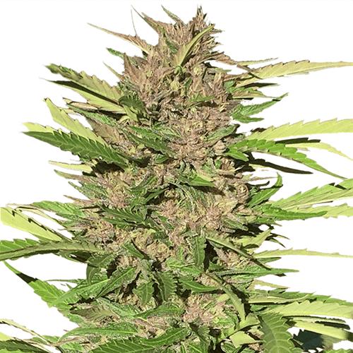 Kush - Autoflowering cannabis