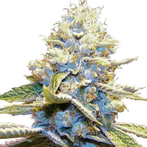 Kush - Cannabis cultivation