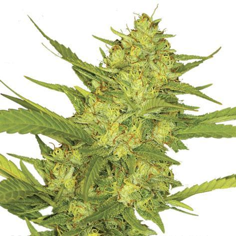 Sour Diesel - Autoflowering cannabis