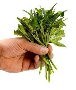 Hemp - Herbal medicine