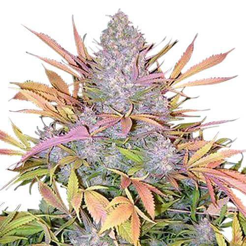 Cannabis sativa - Seed