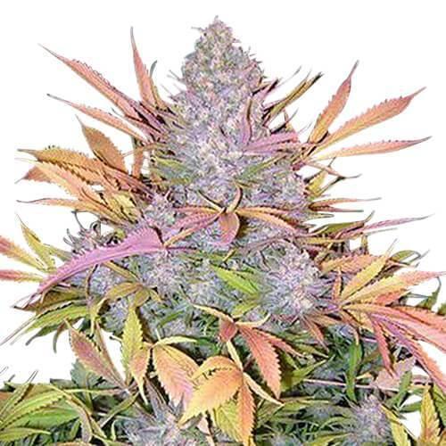 Cannabis sativa - Seed