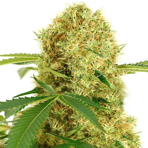 White Widow - Autoflowering cannabis