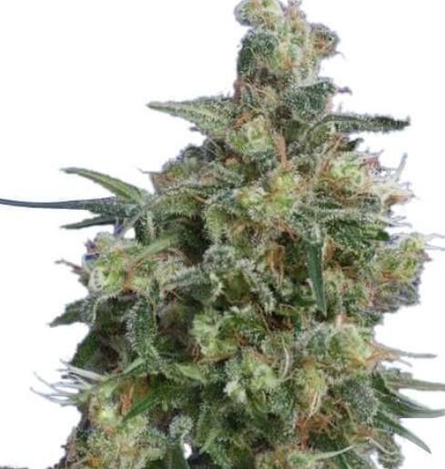 babba kush Adelaide Cannabis Seeds