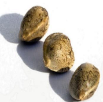 marijuana-seed-in-sydney